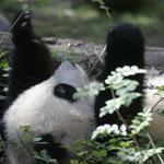 panda82